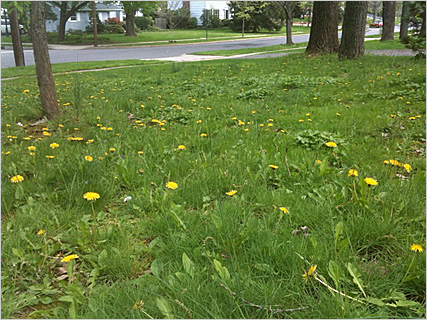 How Do Weeds Take Over A Lawn Free Lawn Care Help